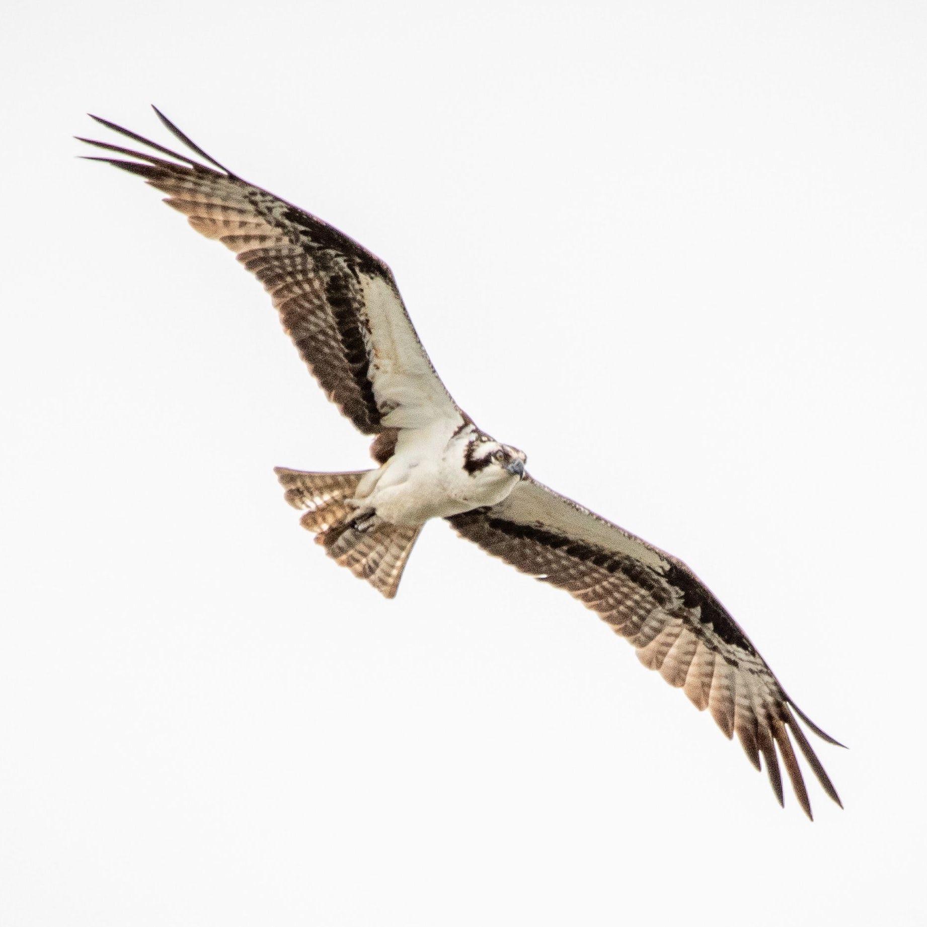 UK Osprey News