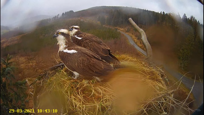 Two ospreys on an osprey nest in Wales